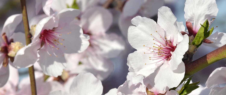 An der Weinstraße blühen im frühen Frühjahr Tausende von Mandelbäumen.